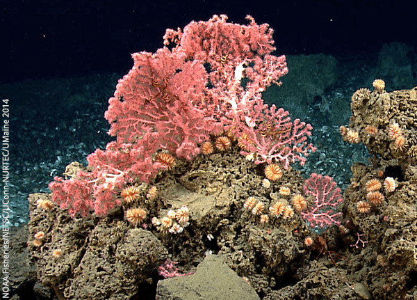 Many types of fragile, slow-growing, deep-sea corals live in the waters off New England, providing habitat for fish and invertebrates. The New England Fishery Management Council is taking action to reduce impacts of fishing gear on the corals.