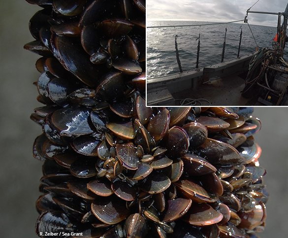 Blue mussels at the farm grow on submerged lines, which are deployed by boat (upper right).