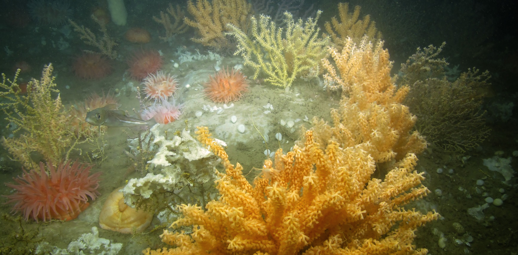 Deep-sea coral garden habitat in Western Jordan Basin, Gulf of Maine