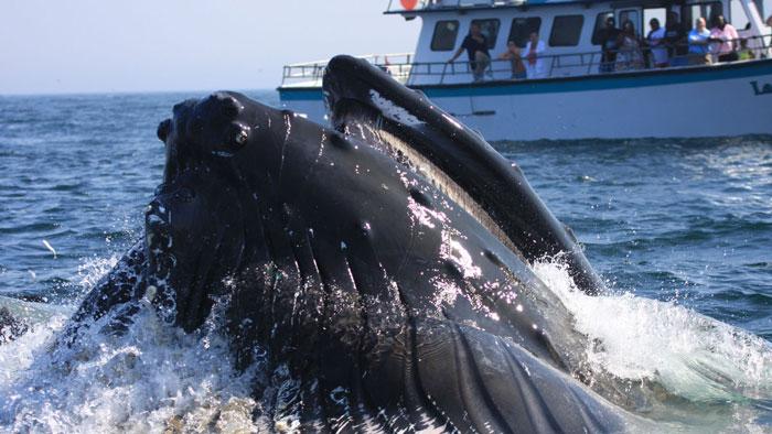 Humpback whale and whale watching vessel at Stellwagen Bank National Marine Sanctuary. (Photo credit: Jeremy Winn)